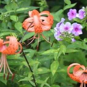Тигровые лилии на клумбе с петуниями