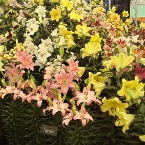 Розовые и желтые цветки лилий морозостойких сортов