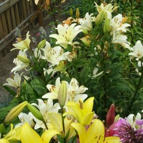 Нежно-желтые цветки на лилиях вдоль старого забора