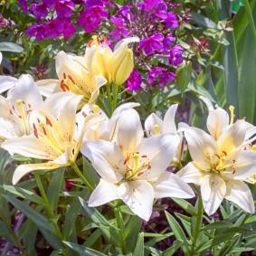 Белые цветки с желтыми пятнами у основания лепестков