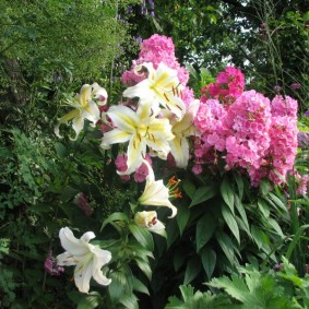 Желтые полоски на белых цветках луковичных растений