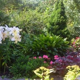 Канадская ель на клумбе садового участка
