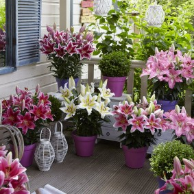 Красивые лилии в керамических горшках