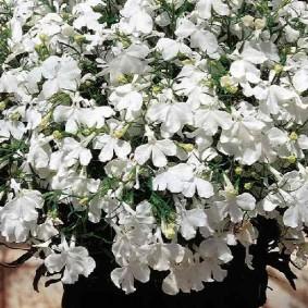 Белоснежные цветки на кустике лобелии