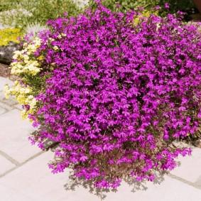 Пышный куст лобелии с фиолетовыми цветками
