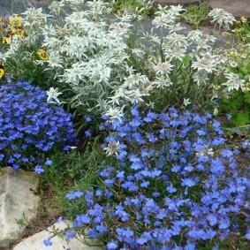 Голубая лобелия вдоль садовой дорожки