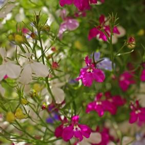 Нежные лепестки на цветках лобелии