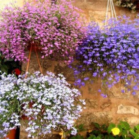 Подвесные горшки с цветущими лобелиями