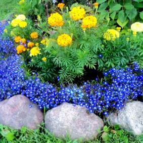 Лобелия на одной грядке с цветущими бархатцами