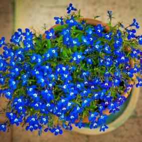 Сине-белые цветки на ветках лобелии