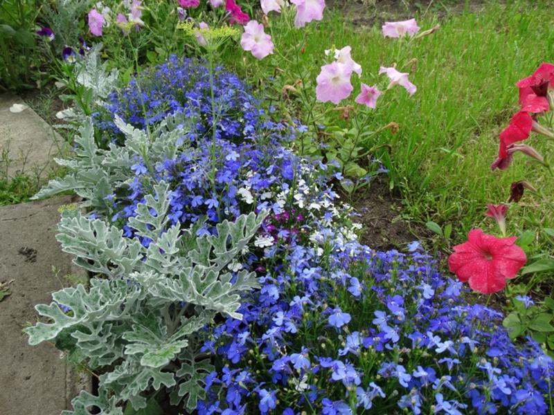 Лобелия фото цветов в клумбе с другими цветами