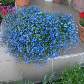 Синие цветки на стебельках многолетнего растения