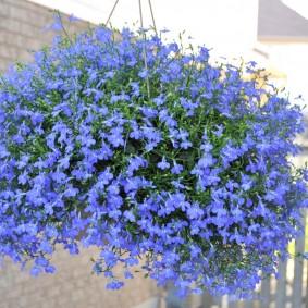 Синие цветы в кашпо на террасе
