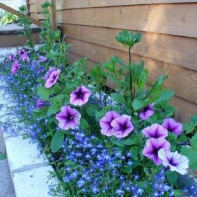Сиреневые петунии вдоль стены загородного дома