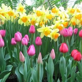 Розовые тюльпаны на фоне нарциссов