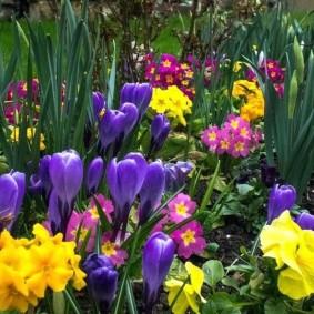 Сиреневые луковичные цветы на садовой клумбе