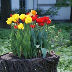 Многолетние тюльпаны в клумбе из старого пенька
