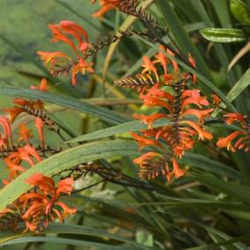 Цветки монтбреции среди длинных листьев