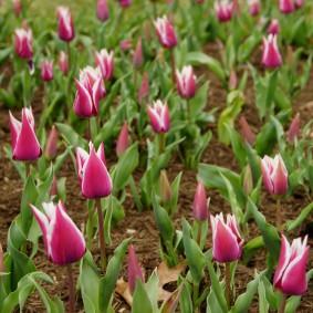 Красивые тюльпаны с белыми краями на розовых лепестках цветов