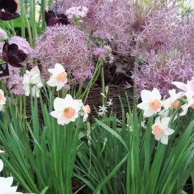 Пышные соцветия декоративного лука