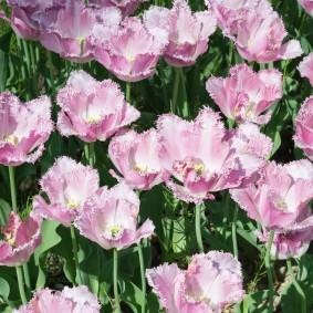 Махровые лепестки на нежно-розовых цветках