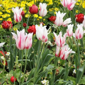 Гибридные тюльпаны на садовой клумбе