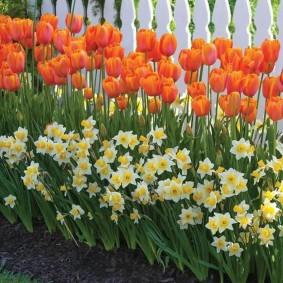 Красные тюльпаны на рабатке вдоль забора