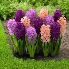Пышнын соцветия садовых ирисов