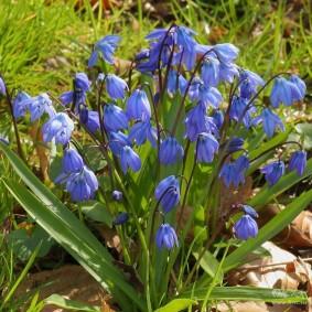 Голубые колокольчики на луковичных цветах