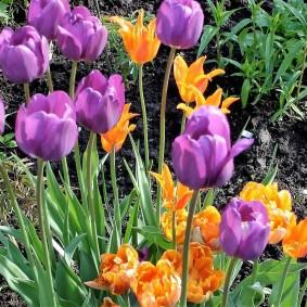 Светло-фиолетовые тюльпаны с длинными стеблями