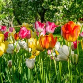 Полосатые цветки апрельских тюльпанов