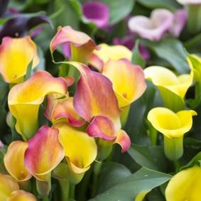 Красивые соцветия на садовой калле