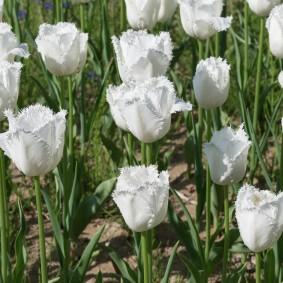 Молочные цветки с махровыми лепестками