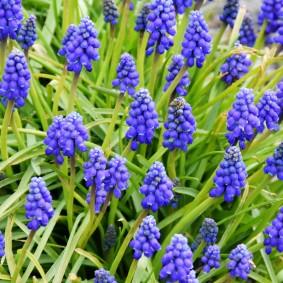 Яркие соцветия многолетних луковичных