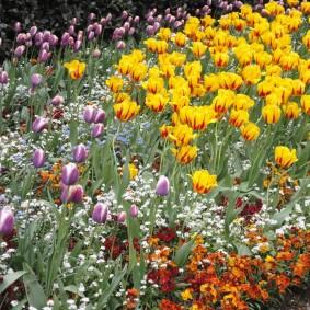 Желто-красные тюльпаны голландской селекции