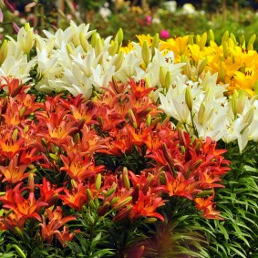 Яркое цветение луковичных растений