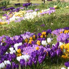 Первые весенние цветы на участке с уклоном