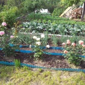 Кустики роз на грядках с бордюрной лентой