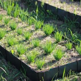 Посевы лука на грядке из полимерных досок
