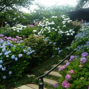 Розы и гортензии вдоль садовой лестницы