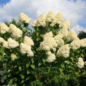 Белоснежные метелки цветущей гортензии