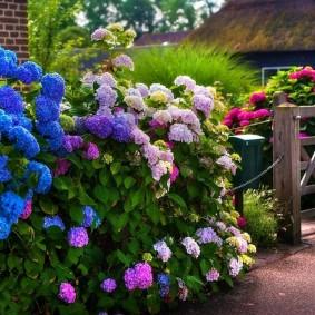 Садовая композиция из гортензий с цветками разного окраса