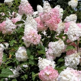 Розово-белые метелки гортензии на дачном участке