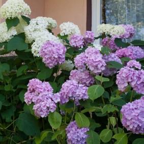 Садовый микс из гортензии с белыми и сиреневыми цветками
