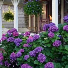 Темно-сиреневые цветы на многолетних кустарниках