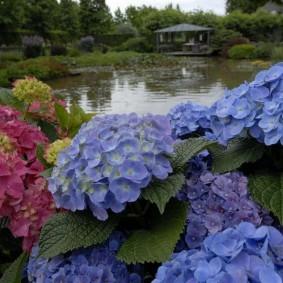 Синие цветки в бутонах гортензии