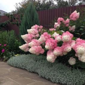 Розово-белые соцветия на ветках гортензии метельчатой