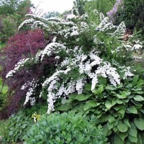 Раскидистый куст белой спиреи