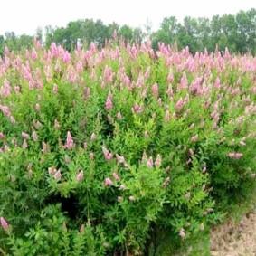 Многолетние кустарники с розовыми соцветиями