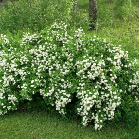 Кустарник с белыми цветами на опушке леса